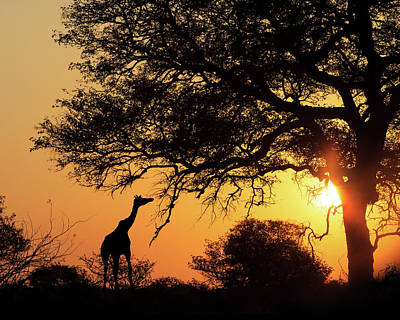 Sunset Silhouette Giraffe Eating From Tree Print by Susan Schmitz