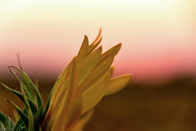 Photograph - Sunset Sunflower by Jay Stockhaus