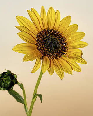 Photograph - Sunset Sunflower by Rob Graham