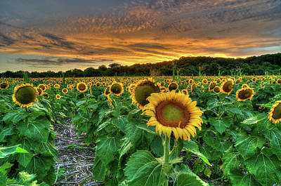 Photograph - Sunset Sunflowers by Steve Stuller