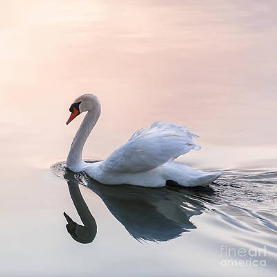 Sunset Swan Art Print by Elena Elisseeva