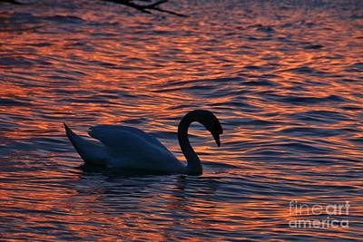 Photograph - Sunset Swan Swim by Tony Lee