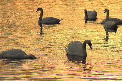 Photograph - Sunset Swans by John Burk