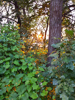 Photograph - Sunset Through Vines by Lynn Hansen