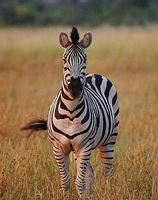 Photograph - Sunset Zebra by Bruce W Krucke