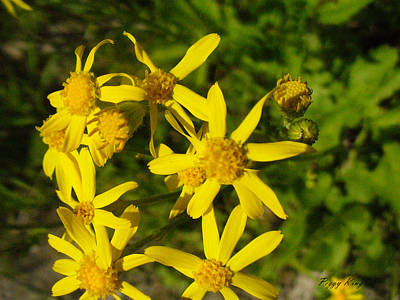 Golden Ragwort Photograph - Sunshine Along The Trail by Peggy King