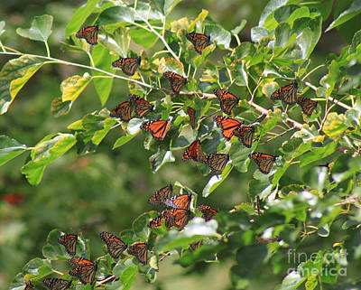 Photograph - Sunshine And Butterflies by Cathy  Beharriell