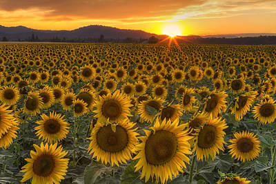 Sunflowers Royalty-Free and Rights-Managed Images - Sunshine and Happiness by Mark Kiver