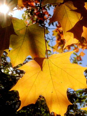 Photograph - Sunshine And Maple Leaves by Beth Akerman