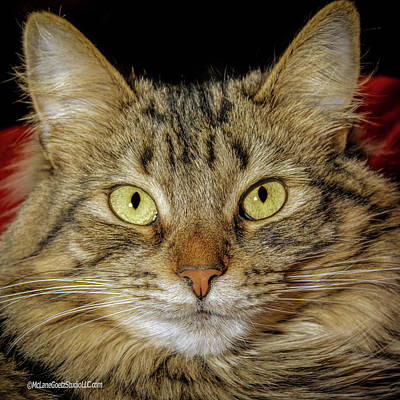 Photograph - Sunshine Cat by LeeAnn McLaneGoetz McLaneGoetzStudioLLCcom