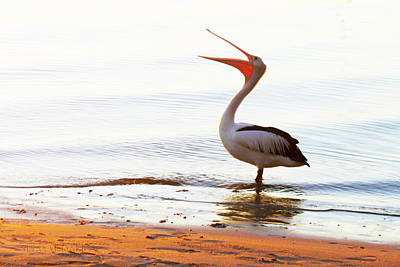 Sunshine Coast Pelican Art Print