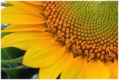 Photograph - Sunshine In A Flower by Shari Jardina