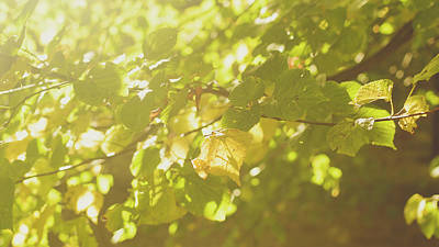Photograph - Sunshine On The Leaves Of A Beech Tree by Jacek Wojnarowski