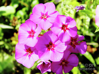 Photograph - Sunshine On The Pink Phlox by D Hackett