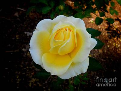 Photograph - Sunshine Rose by Joan-Violet Stretch