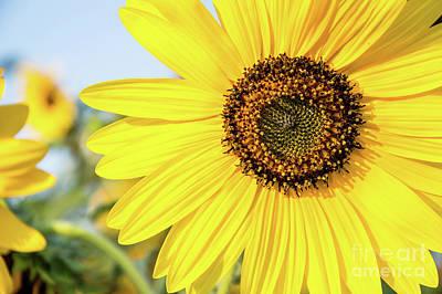 Photograph - Sunshine Sunflower by Cathie Richardson