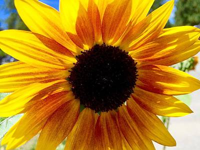 Sunshine Sunflower Art Print