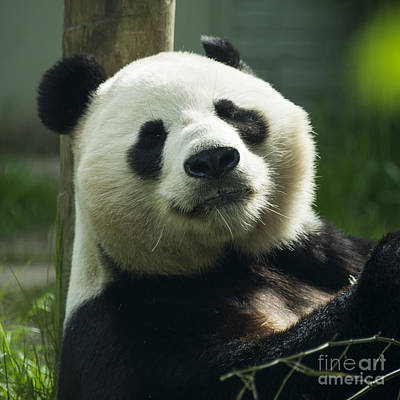 Fruits And Vegetables Still Life - Sunshine the Panda  by Rob Hawkins