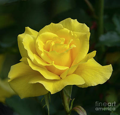 Photograph - Sunsprite Rose 2 by Glenn Franco Simmons