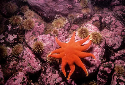 Photograph - Sunstar And Urchins by Gary Shepard