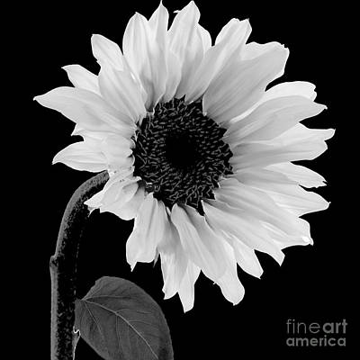 Sunflowers Royalty-Free and Rights-Managed Images - Sunwashed by Mindy Sommers