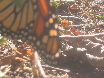 Photograph - Sunwashed Monarch by Iris Newman