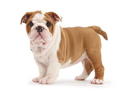 Photograph - Sup Bulldog? by Warren Photographic