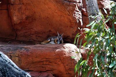 Photograph - Super Cute Wallaby by Miroslava Jurcik