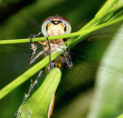 Photograph - Super Efficent Super Amazing Dragonfly by Miroslava Jurcik