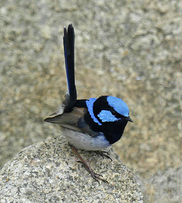 Photograph - Superb Fairy-wren by Margaret Saheed