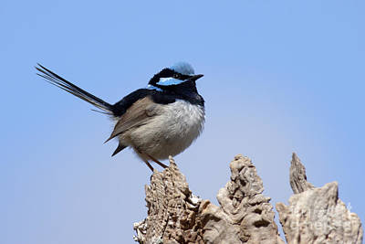 Photograph - Superb Fairywren by Karen Van Der Zijden