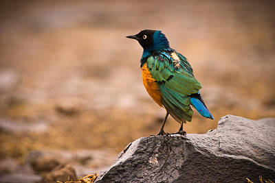 Starlings Photograph - Superb Starling by Adam Romanowicz
