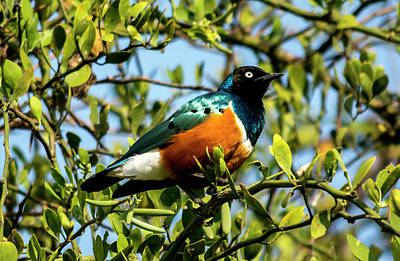 Photograph - Superb Starling by David Morefield