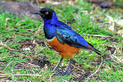 Photograph - Superb Starling by Marilyn Burton