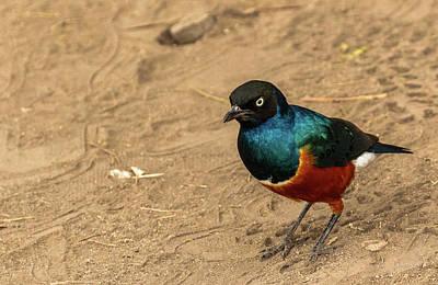 Photograph - Superb Starling by Tim Bryan
