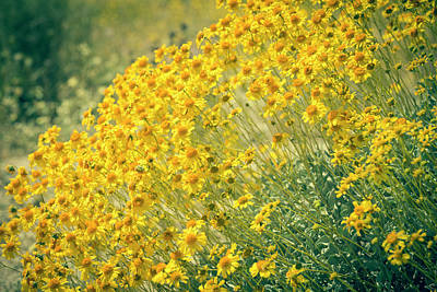 Photograph - Superbloom Golden Yellow by Amyn Nasser