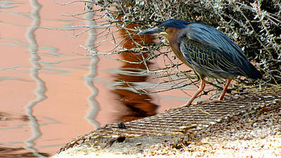 Green Heron Photograph - Supper Time by Chandra Nyleen