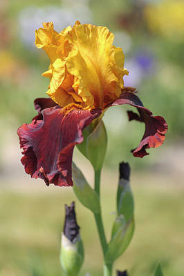 Photograph - Supreme Sultan. The Beauty Of Irises by Jenny Rainbow