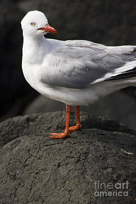 Photograph - Suprised Australian Seagull by Jorgo Photography - Wall Art Gallery