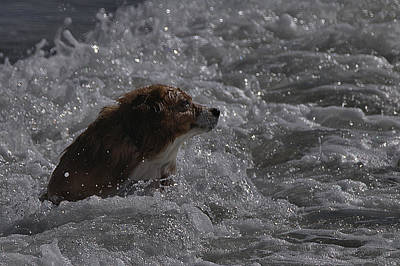 Photograph - Surfer Dog 1 by Michael Gordon