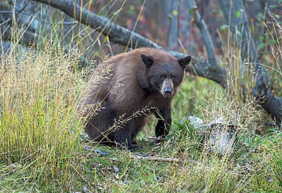 Photograph - Surprised Bear by Scott Warner