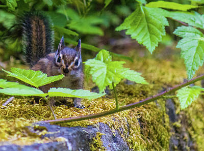 Art Print featuring the photograph Surprised Chipmunk by Jonny D