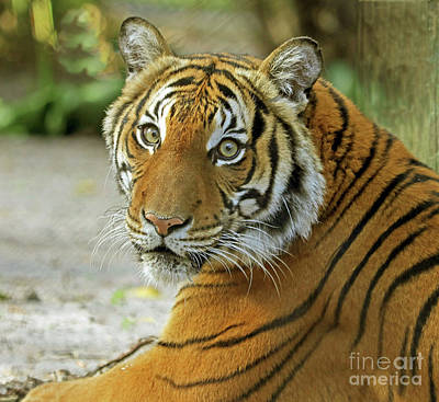 Photograph - Eyes Of The Tiger by Larry Nieland