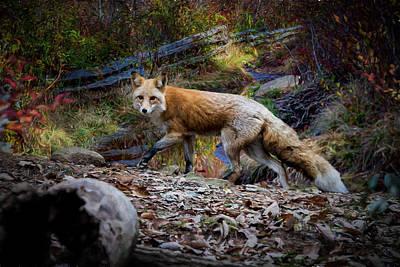 Digital Art - Surprising A Red Fox by John Haldane