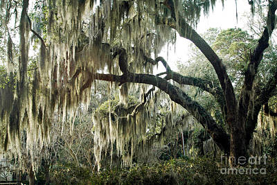 Savannah Fine Art . Savannah Old Trees Photograph - Surreal Gothic Savannah Georgia Trees With Hanging Spanish Moss by Kathy Fornal