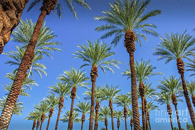 Of Flowering Palm Tree Photograph - Surrounded By Palms by David Zanzinger