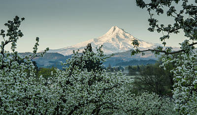 Photograph - Surrounded By Pear Blossoms by Don Schwartz