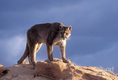 Puma Photograph - Surveying The Territory by Sandra Bronstein