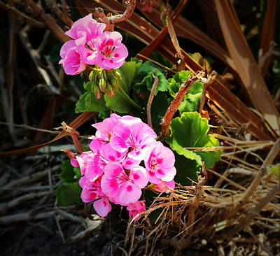 Photograph - Survivng Geranium by Joyce Dickens