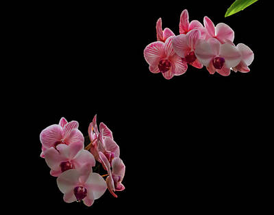 Photograph - Suspended Orchids by Richard Goldman